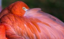 Schließen Sie oben vom Flamingo-Auge Stockfoto