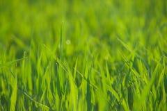 Schließen Sie oben vom frischen Gras mit Wassertropfen Lizenzfreie Stockfotografie