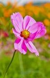Schließen Sie oben vom Gartenkosmos oder von den mexikanischen Asterblumen lizenzfreies stockfoto