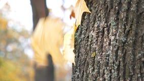 Schließen Sie oben vom gelben Ahornlaub, das an der Barke des Baums im Wald am sonnigen Tag fällt und festhält Sch?nes buntes stock video