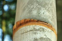 Schließen Sie oben vom gelben Bambus in der natürlichen Umwelt Lizenzfreie Stockbilder