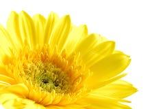 Schließen Sie oben vom gelben gerber Gänseblümchen Stockfoto