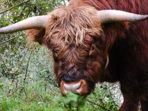 Schließen Sie oben vom Gesicht eines Büffels Stockbilder