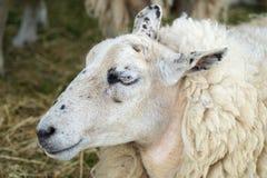 Schließen Sie oben vom Gesicht und vom Kopf des weißen Schafs Lizenzfreie Stockfotografie
