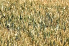 Schließen Sie oben vom goldenen Feld des Roggens lizenzfreies stockfoto