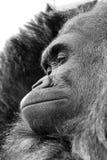 Schließen Sie oben vom Gorilla mit ausdrucksvollem Gesicht Lizenzfreie Stockfotografie