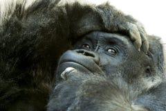 Schließen Sie oben vom Gorilla mit ausdrucksvollem Gesicht Stockbilder