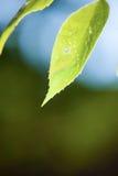 Schließen Sie oben vom grünen Blatt Lizenzfreies Stockbild