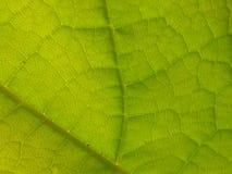 Schließen Sie oben vom grünen Catalpa-Baum-Blatt Lizenzfreie Stockbilder