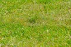 Schließen Sie oben vom grünen Gras für Ihren Hintergrund Lizenzfreies Stockfoto