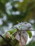 Schließen Sie oben vom grünen Leguankopf Lizenzfreies Stockbild