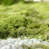 Schließen Sie oben vom grünen Moos Stockfoto