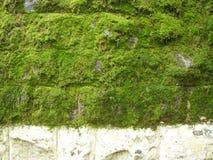 Schließen Sie oben vom grünen Moos Lizenzfreie Stockfotografie