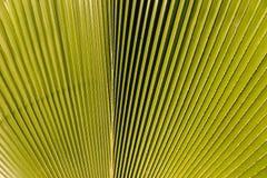 Schließen Sie oben vom grünen Palmblatt Stockfoto