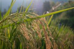 Schließen Sie oben vom grünen ungeschälten Reis Lizenzfreies Stockfoto