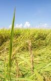 Schließen Sie oben vom grünen ungeschälten Reis Stockbild