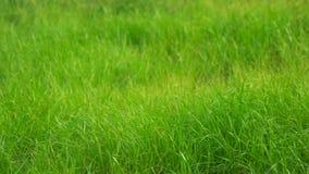 Schließen Sie oben vom Gras stock video footage