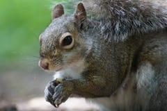 Schließen Sie oben vom grauen Eichhörnchen, grüner Hintergrund Stockbild