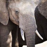 Schließen Sie oben vom großen afrikanischen Elefanten in Tansania Stockbild