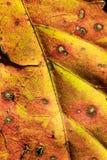 Schließen Sie oben vom Herbstblatt Stockbilder