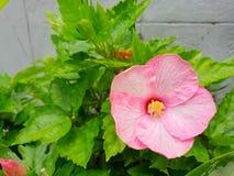 Schließen Sie oben vom Hibiscus oder von Chaba-Blume auf unscharfer Niederlassung und lässt Hintergrund stockbild