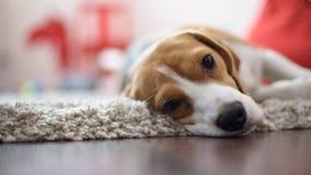 Schließen Sie oben vom Hund Stockbild