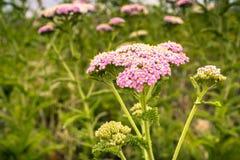 Schließen Sie oben vom hybriden Blühen Yarrow Achillea-millefolium Rosas Stockfotos