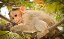 Schließen Sie oben vom indischen Babyaffen des Mützen-Makakens Lizenzfreie Stockbilder