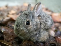 Schließen Sie oben vom jugendlichen Waldkaninchen-Kaninchen lizenzfreie stockfotografie