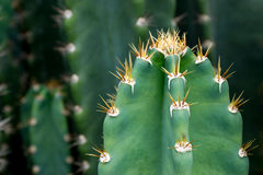 Schließen Sie oben vom Kaktus mit den langen Dornen Stockfotos