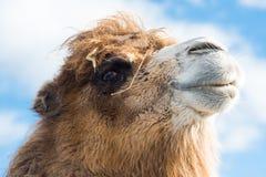 Schließen Sie oben vom Kamel Stockbild