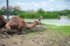 Schließen Sie oben vom Kamel am sonnigen Tag lizenzfreies stockfoto