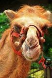 Schließen Sie oben vom Kamelkopf Lizenzfreies Stockbild