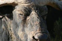 Schließen Sie oben vom Kap-Büffel Lizenzfreies Stockfoto