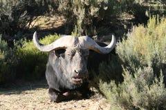 Schließen Sie oben vom Kap-Büffel Lizenzfreie Stockfotografie
