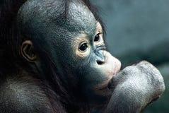 Schließen Sie oben vom kleinen Orang-Utan (Pongo pygmaeus) Stockfotos