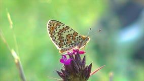 Schließen Sie oben vom kleinen Schmetterling auf der Blume stock footage