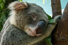 Schließen Sie oben vom Koalahauptschuß, der schlafend stockbilder