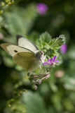 Schließen Sie oben vom Kohl-Weiß-Schmetterling, der einen Wildflower während des Frühlinges bestäubt lizenzfreie stockbilder