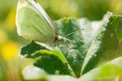 Schließen Sie oben vom Kohl-Weiß-Schmetterling, der nach Wildflowers während des Frühlinges sucht stockbild