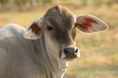 Schließen Sie oben vom Kopf der jungen Kuh auf Landwirtschaftsfeld Stockbilder