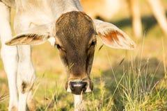 Schließen Sie oben vom Kopf der jungen Kuh auf Landwirtschaftsfeld Lizenzfreies Stockbild