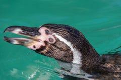 Schließen Sie oben vom Kopf eines Humboldt-Pinguins lizenzfreie stockfotos
