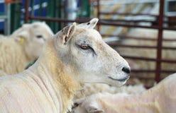 Schließen Sie oben vom Kopf von geschorenen Schafen in scherendem Stift Lizenzfreie Stockbilder