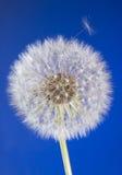 Schließen Sie oben vom Löwenzahnkopf mit Startwerten für Zufallsgenerator auf blauem Himmel Lizenzfreie Stockfotografie