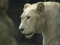 Schließen Sie oben vom Löwin-Gehen Lizenzfreie Stockfotografie
