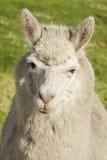 Schließen Sie oben vom Lama, das auf das Gras legt, Lizenzfreies Stockbild
