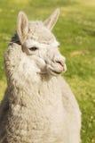 Schließen Sie oben vom Lama, das auf das Gras legt Stockbild