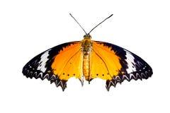 Schließen Sie oben vom Leopard Lacewingschmetterling mit offenen Flügeln in einer Draufsicht Stockfoto