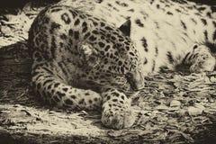 Schließen Sie oben vom Leopardschlafen, von der Weinleseart und von der Farbe, horizonta Stockfotos